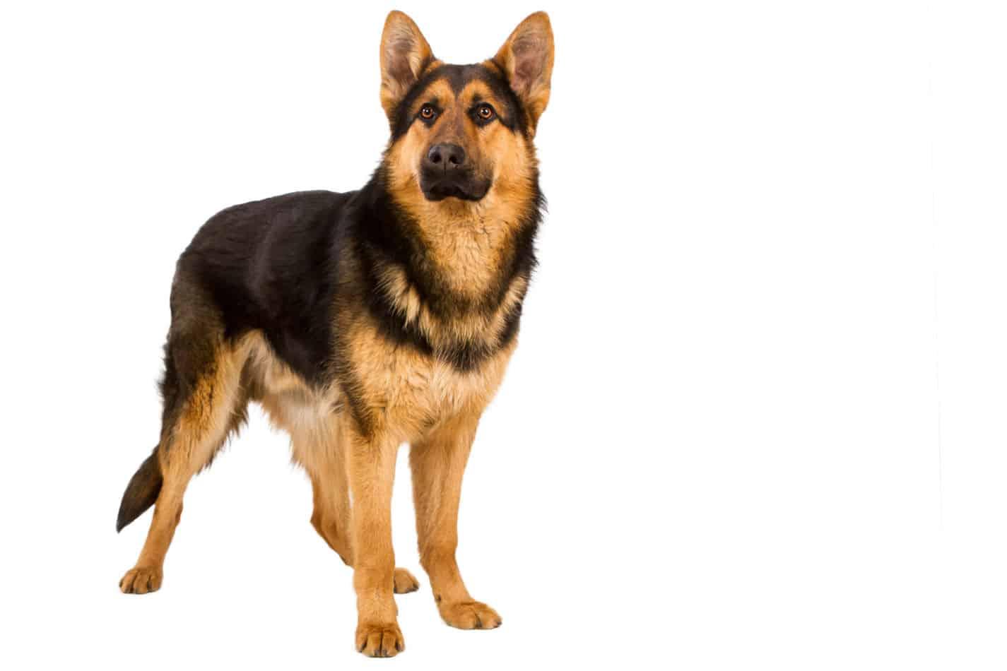 How Big do German Shepherds Get? (Plus Size Info for Mixes)