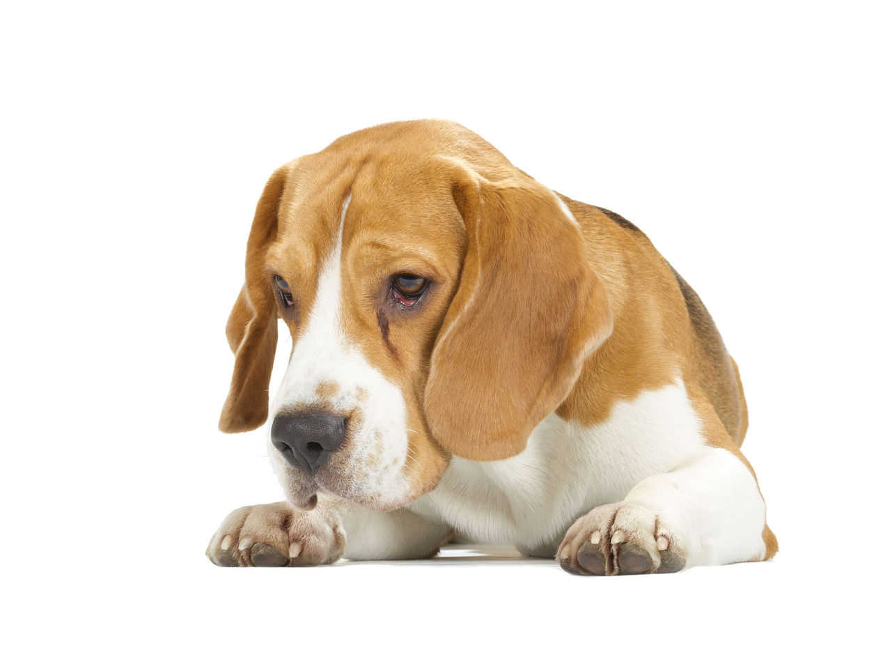 Beagle Intelligence: Are They Really Dumb Like Some People Say?