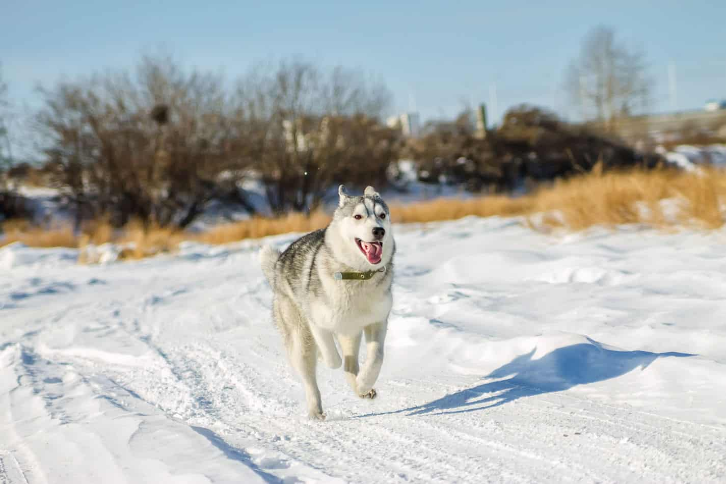 How to Get Huskies to Calm Down (Answered!)