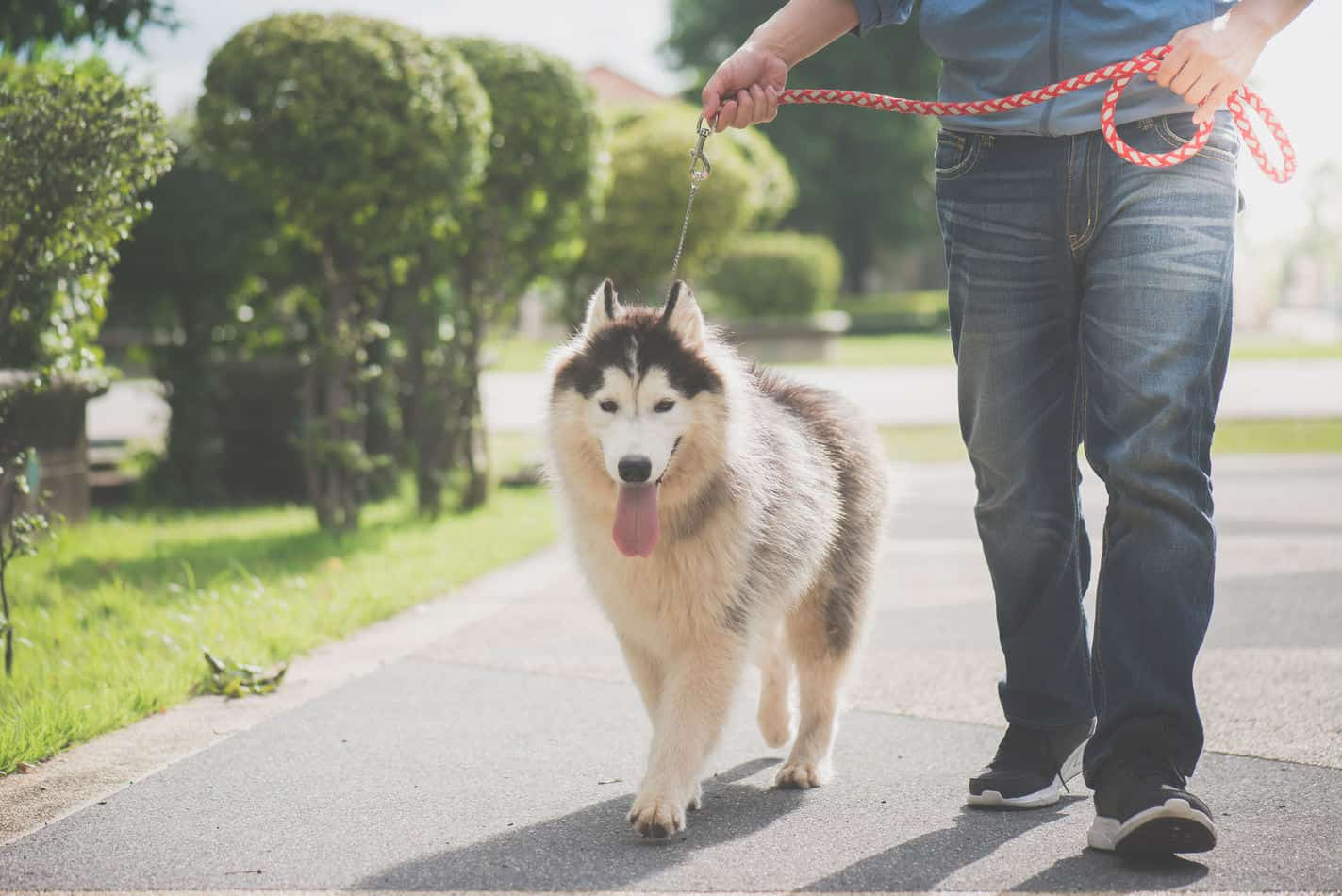 Average Cost of Buying a Husky (With 21 Examples)