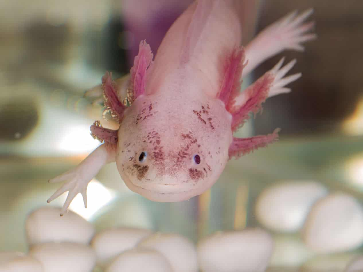 What is an Axolotl? A Complete Species Guide for Beginners