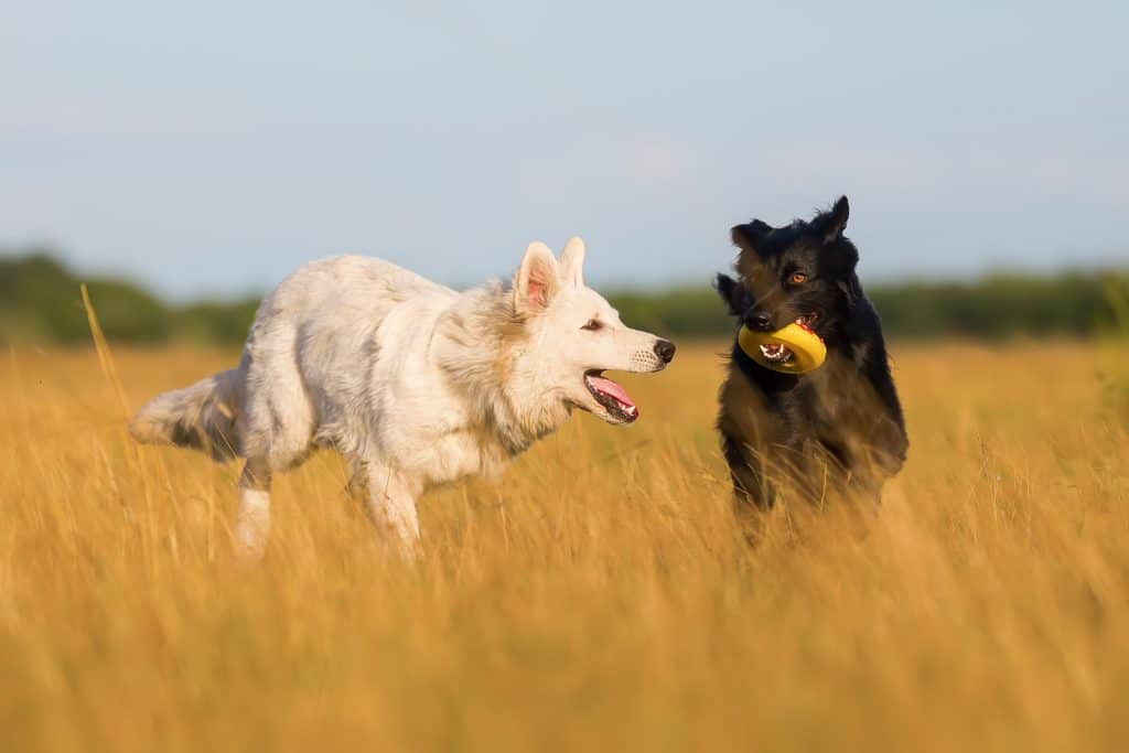Mini German Shepherds: Everything You Could Want to Know