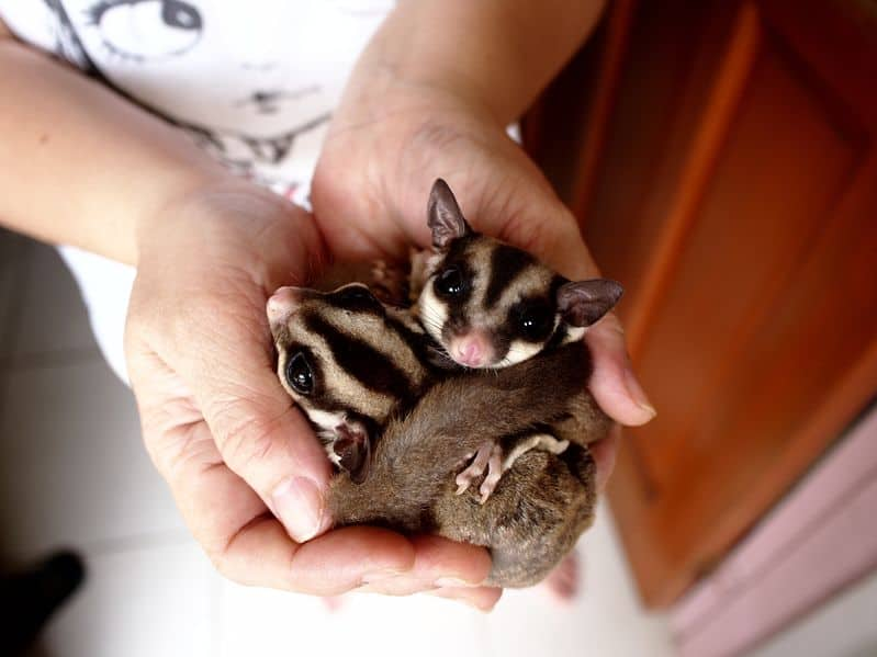 Sugar Gliders As Pets Cost To Buy Legalities Dangers And More Info Embora Pets