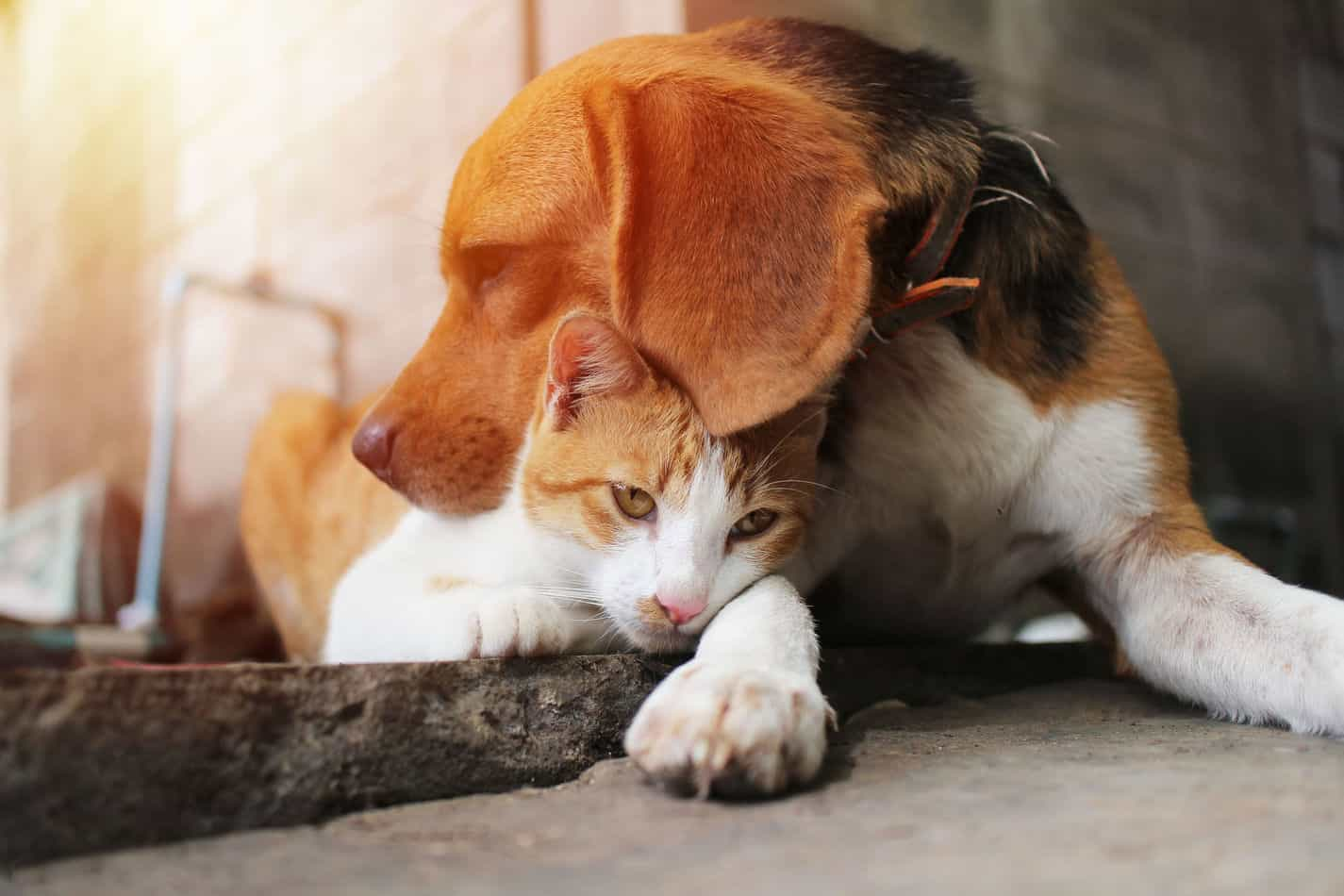 Do Beagles Get Along with Cats?