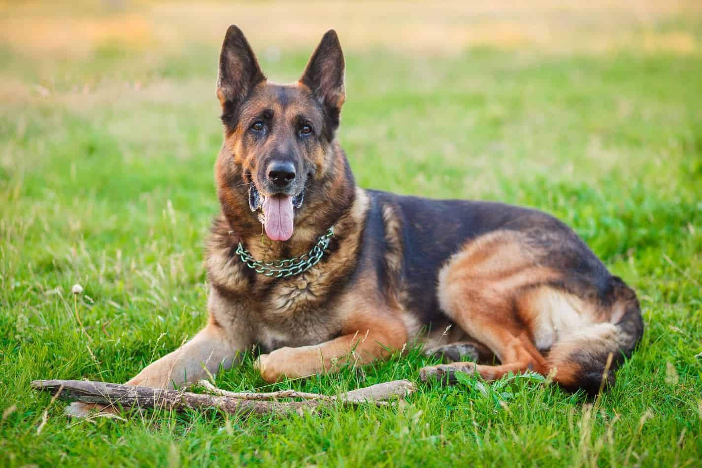What Are German Shepherds Bred For?