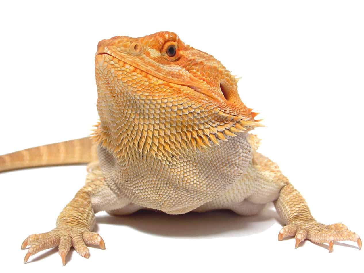 Bearded Dragons As Pets Dangers Cost To Buy One And Ease Of Care Embora Pets