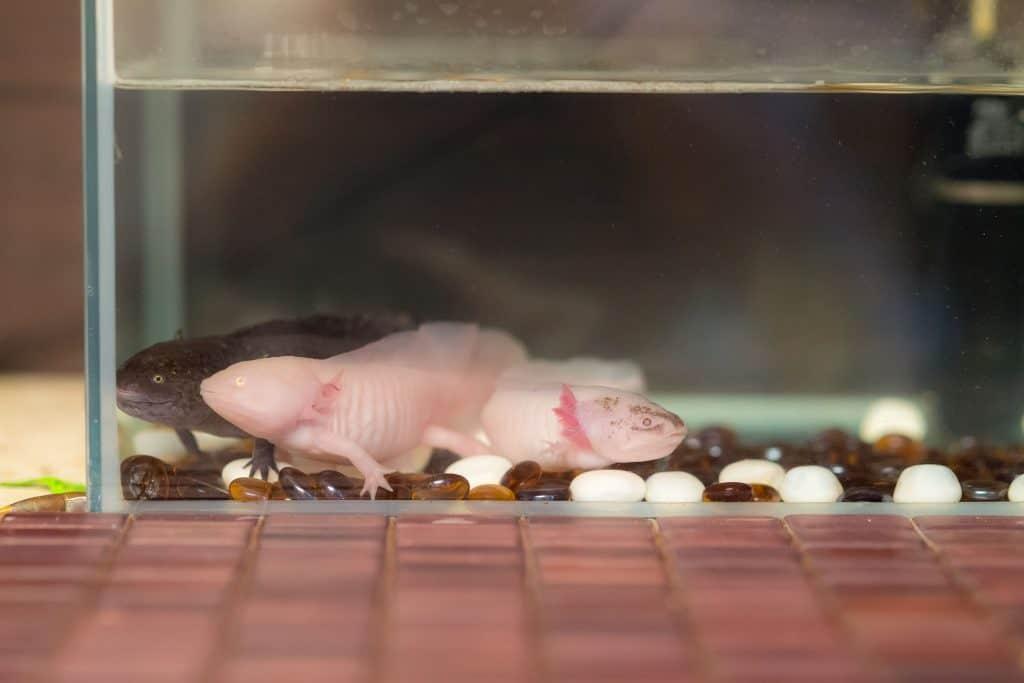 How Much do Axolotls Cost?