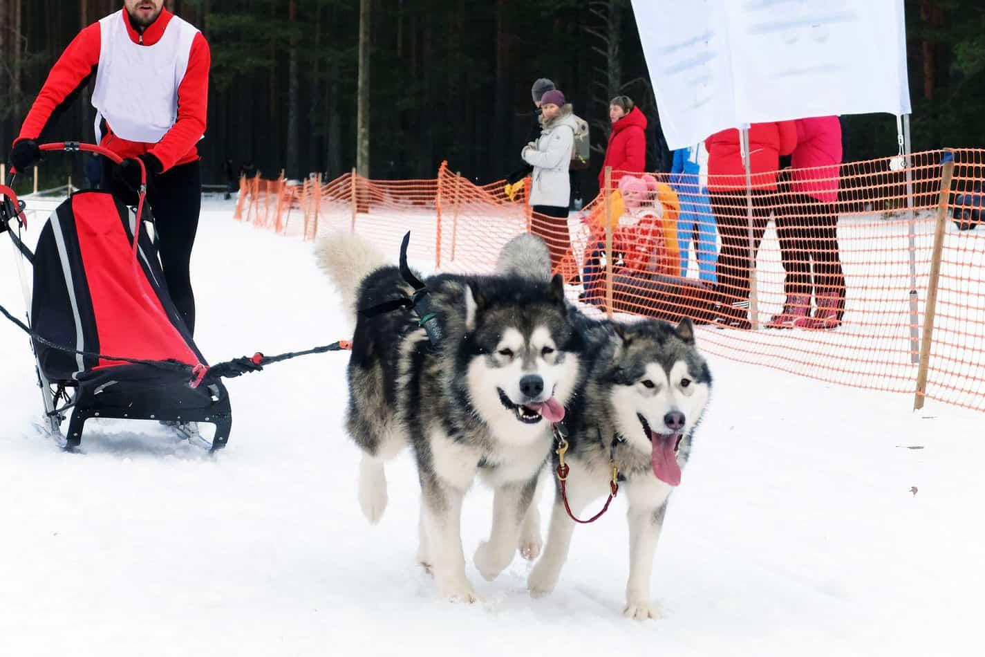 Can Huskies Run Long Distances?