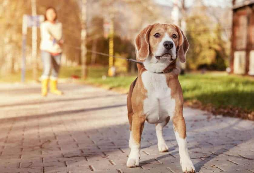 Beagle/Retriever Mix: A Complete Guide to This Great Dog