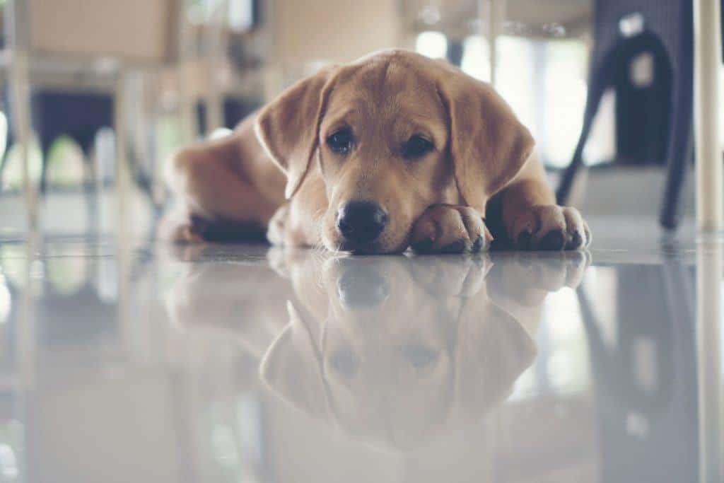 Beagle/Labrador Mixes (Beagador): A complete guide