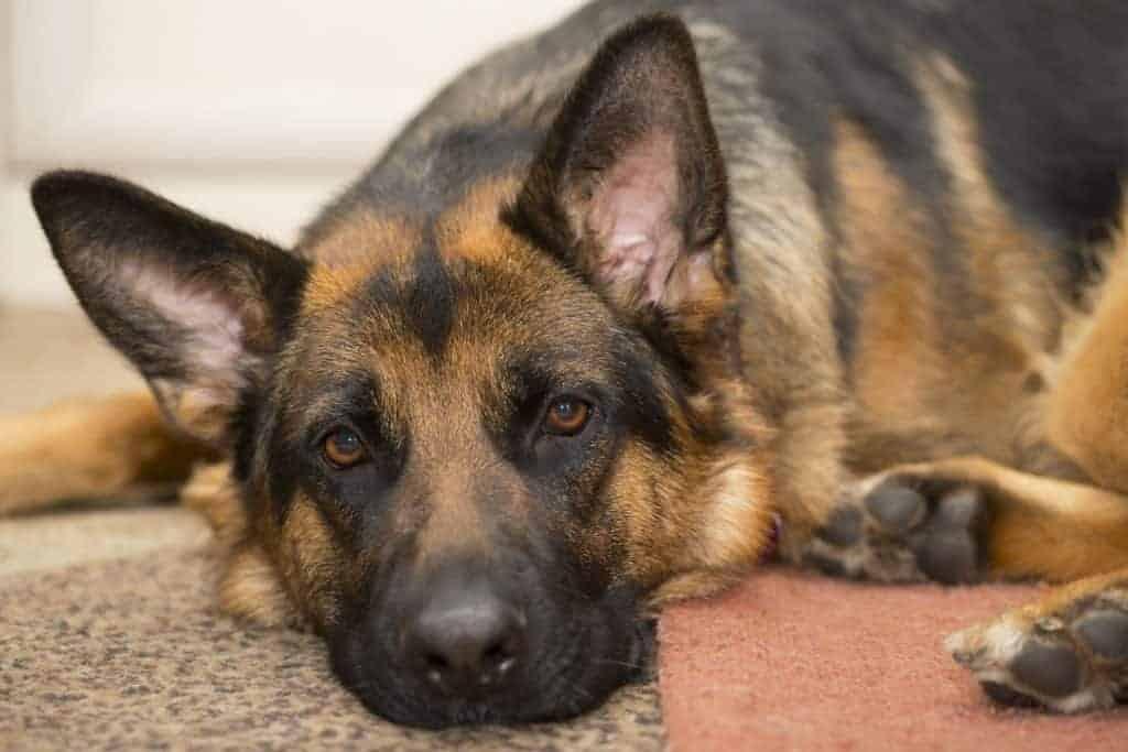 Can German Shepherds Stay Outside in the Heat?