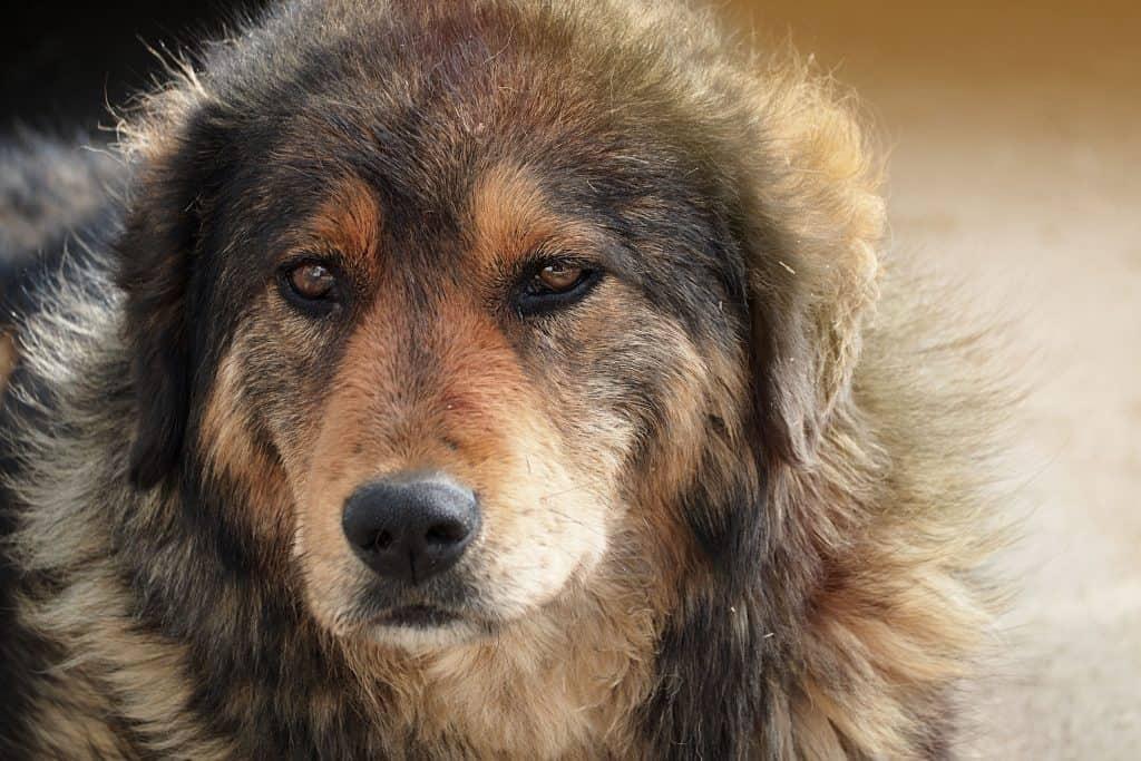 German Shepherdretriever Mix Golden Shepherd A Complete