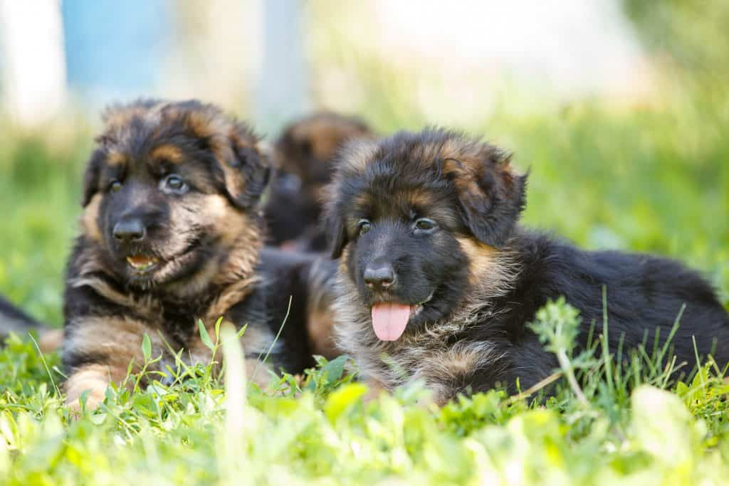 Average Cost of Buying a German Shepherd (With 21 Examples