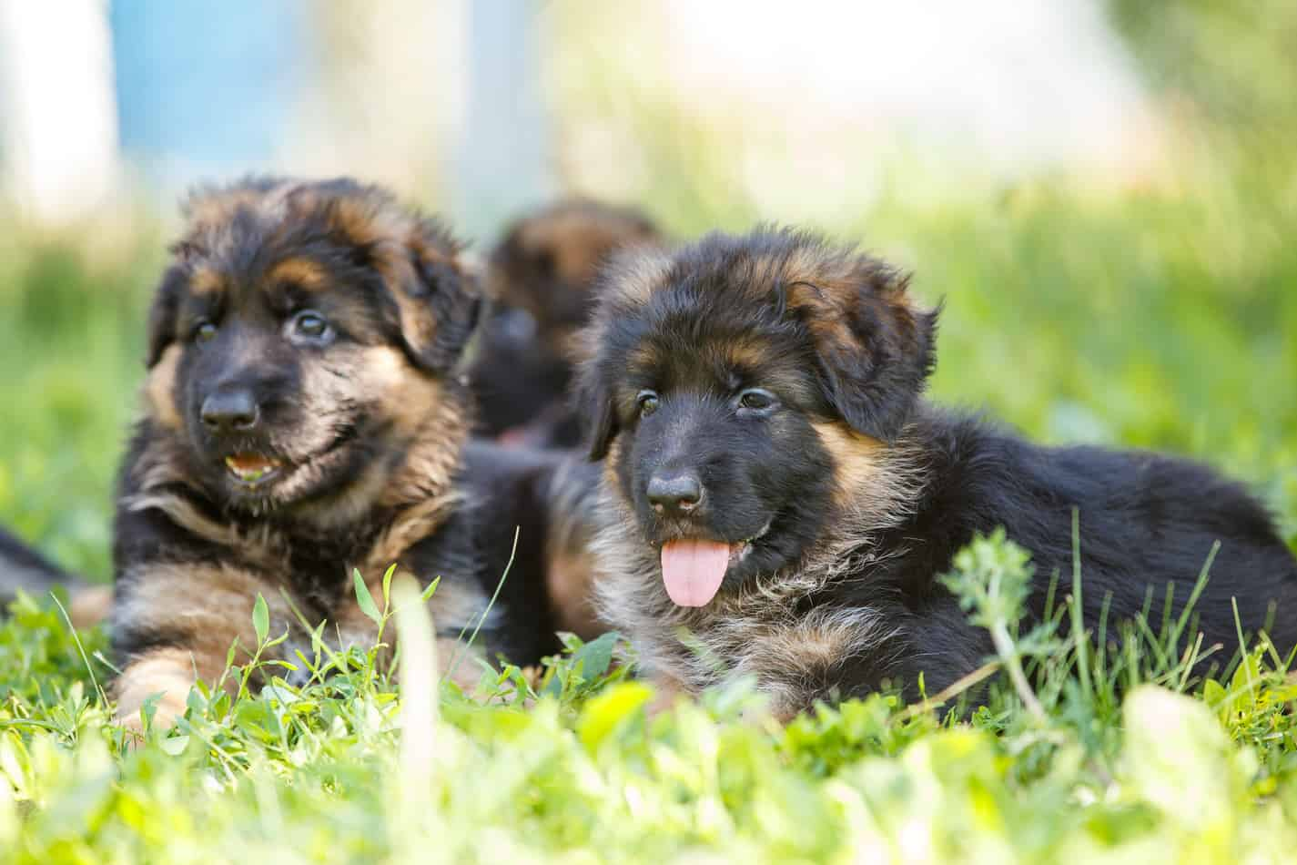 Best Age To Breed A New German Shepherd
