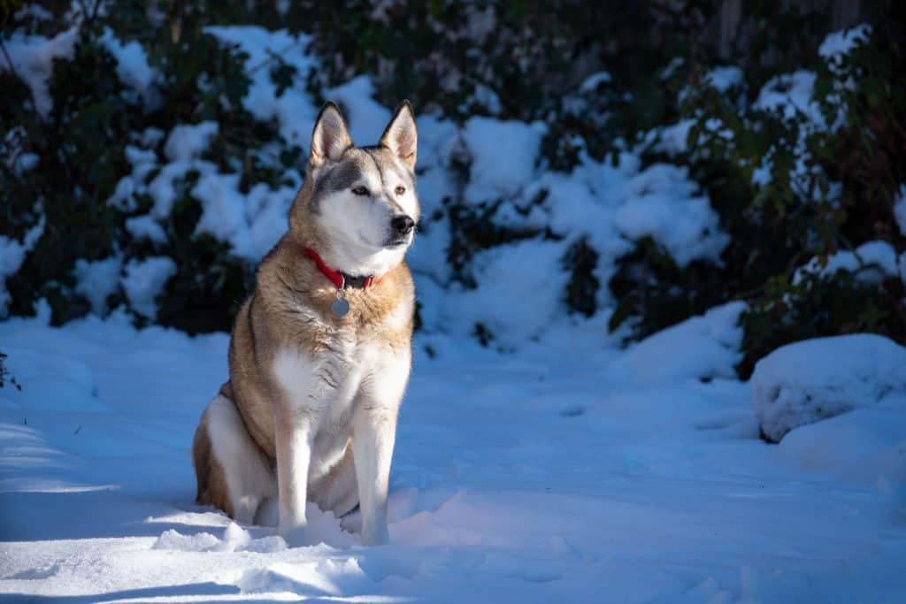 How big do Huskies get?