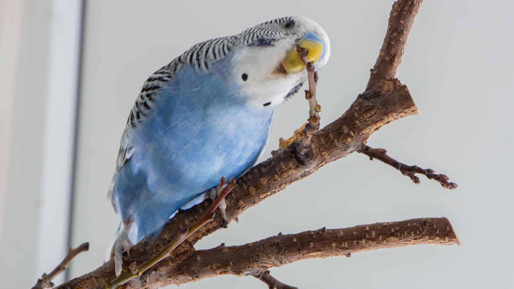 Petco Parakeets: 9 Things to Know Before You Buy
