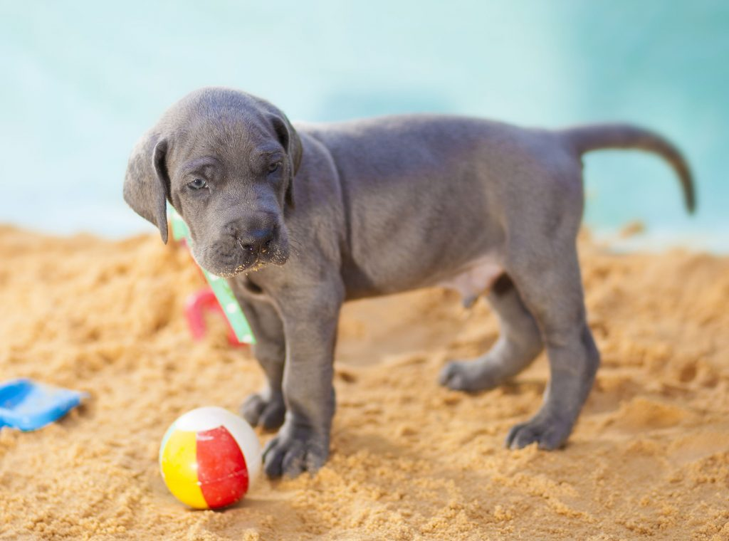 Great Danes as Pets: Cost, Life Expectancy, and Temperament #danes #dogs #puppies