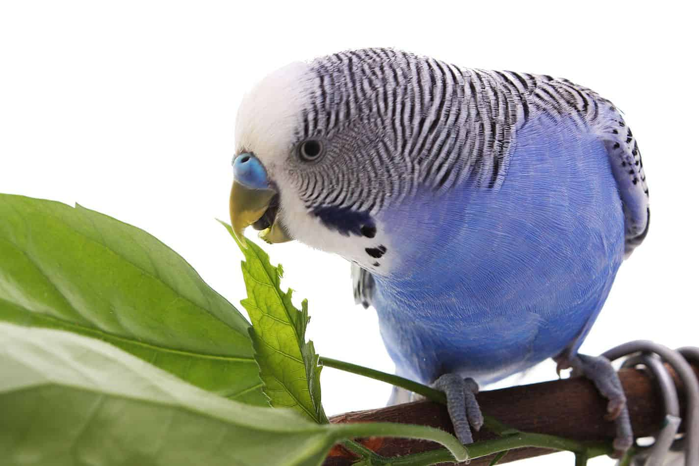 Blue Parakeets: A Complete Guide Before You Get One