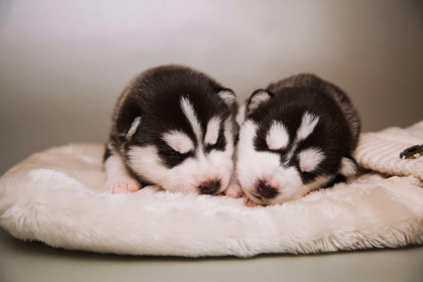 How Long Do Huskies Reproduce?