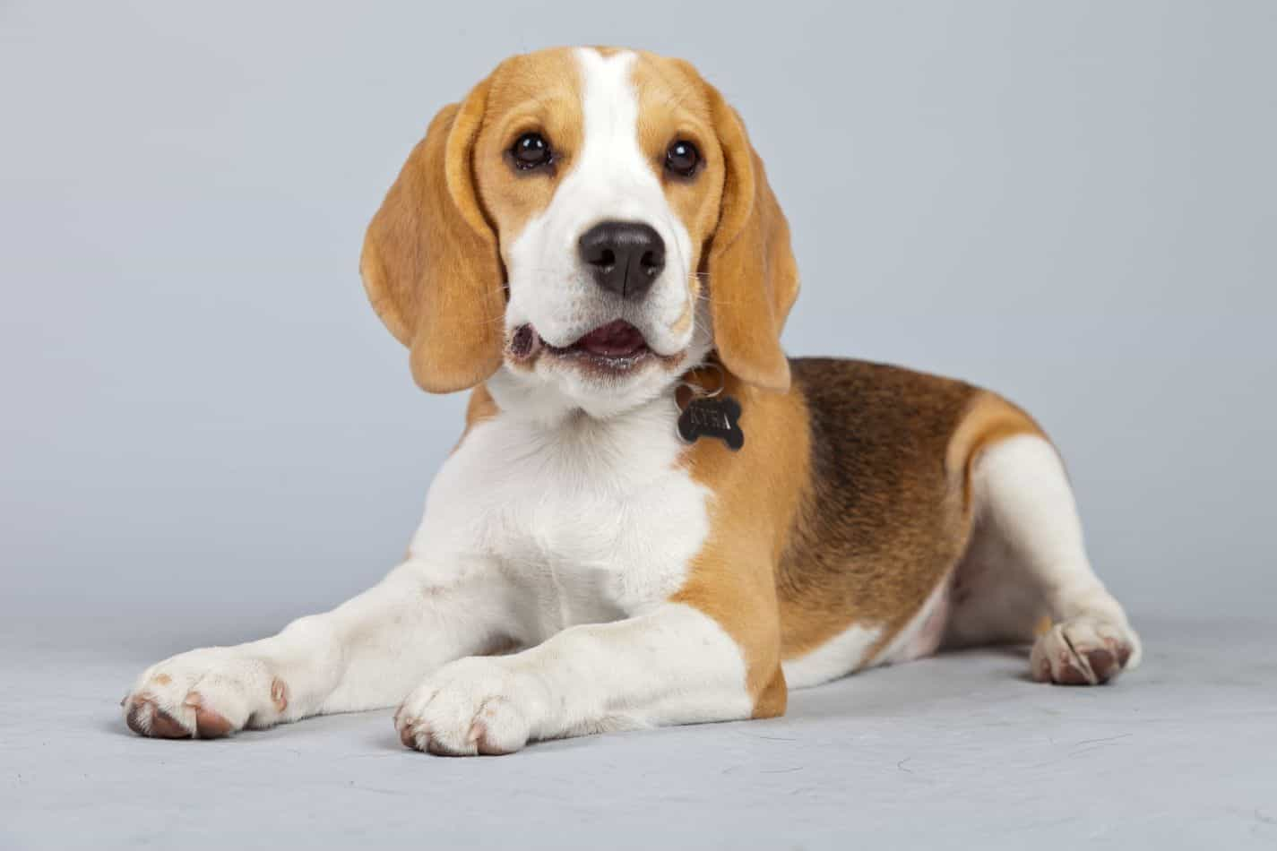 At What Age Do Beagles Stop Growing? – Embora Pets