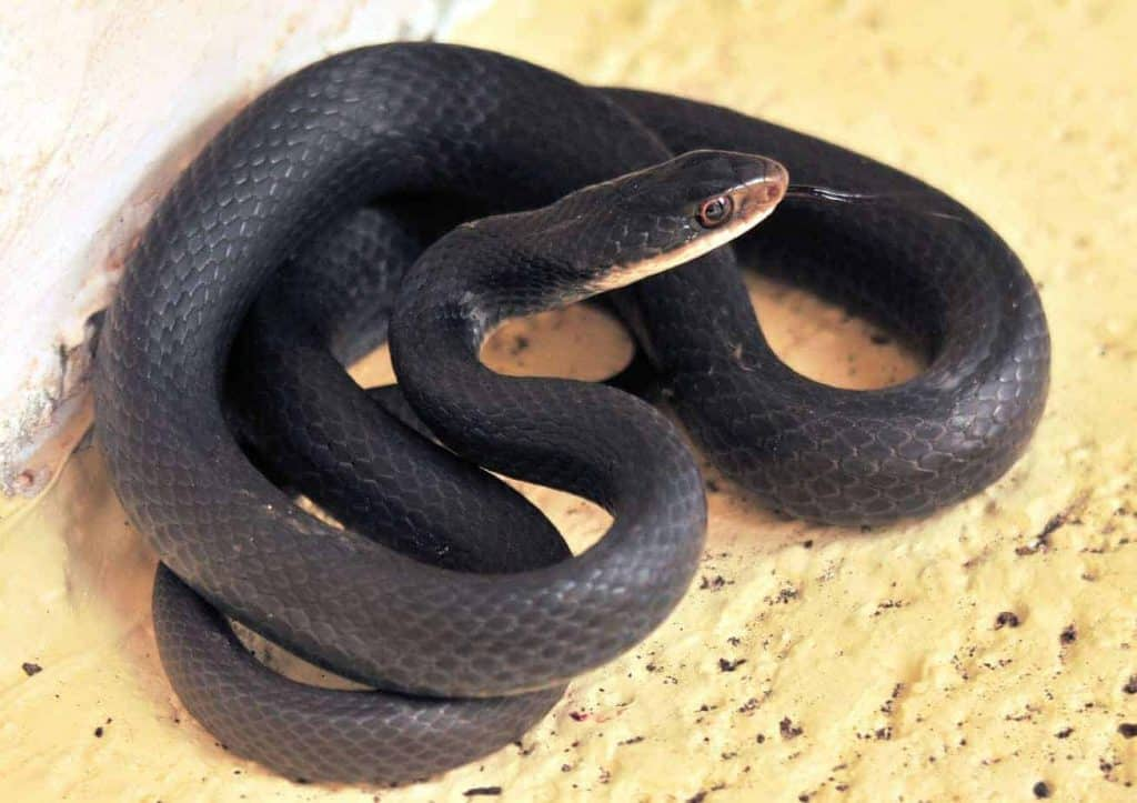 the black racer snake in south florida