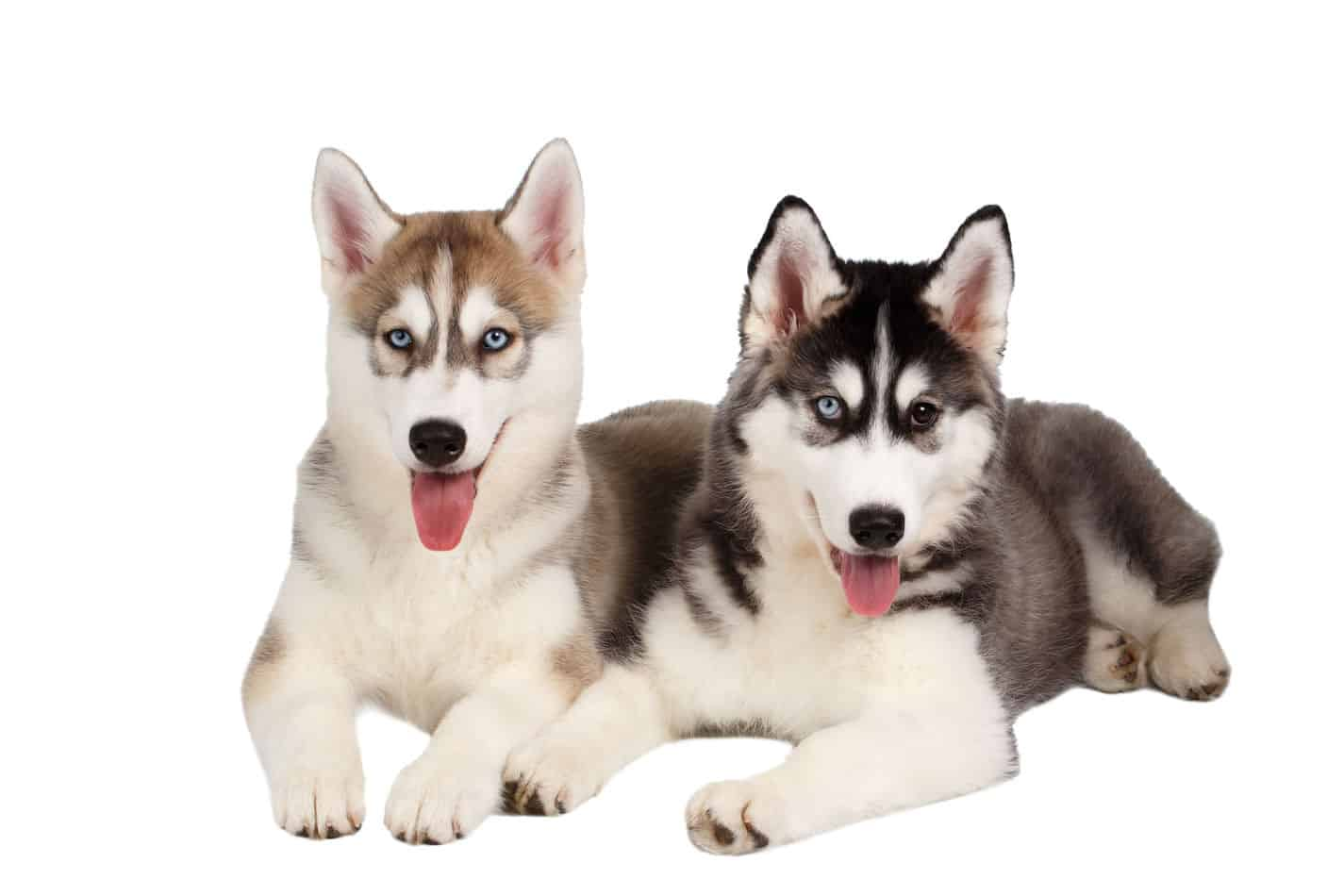 Best Age to Breed a New Husky