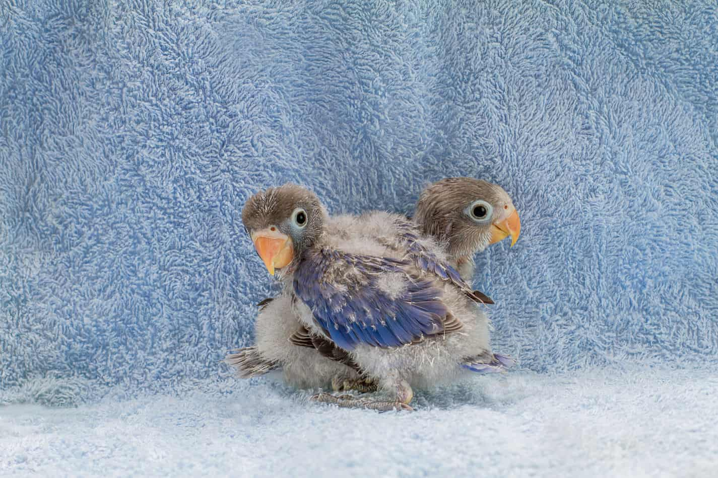 Getting a Baby Parakeet: Costs, Things to Know, and Tips for Choosing