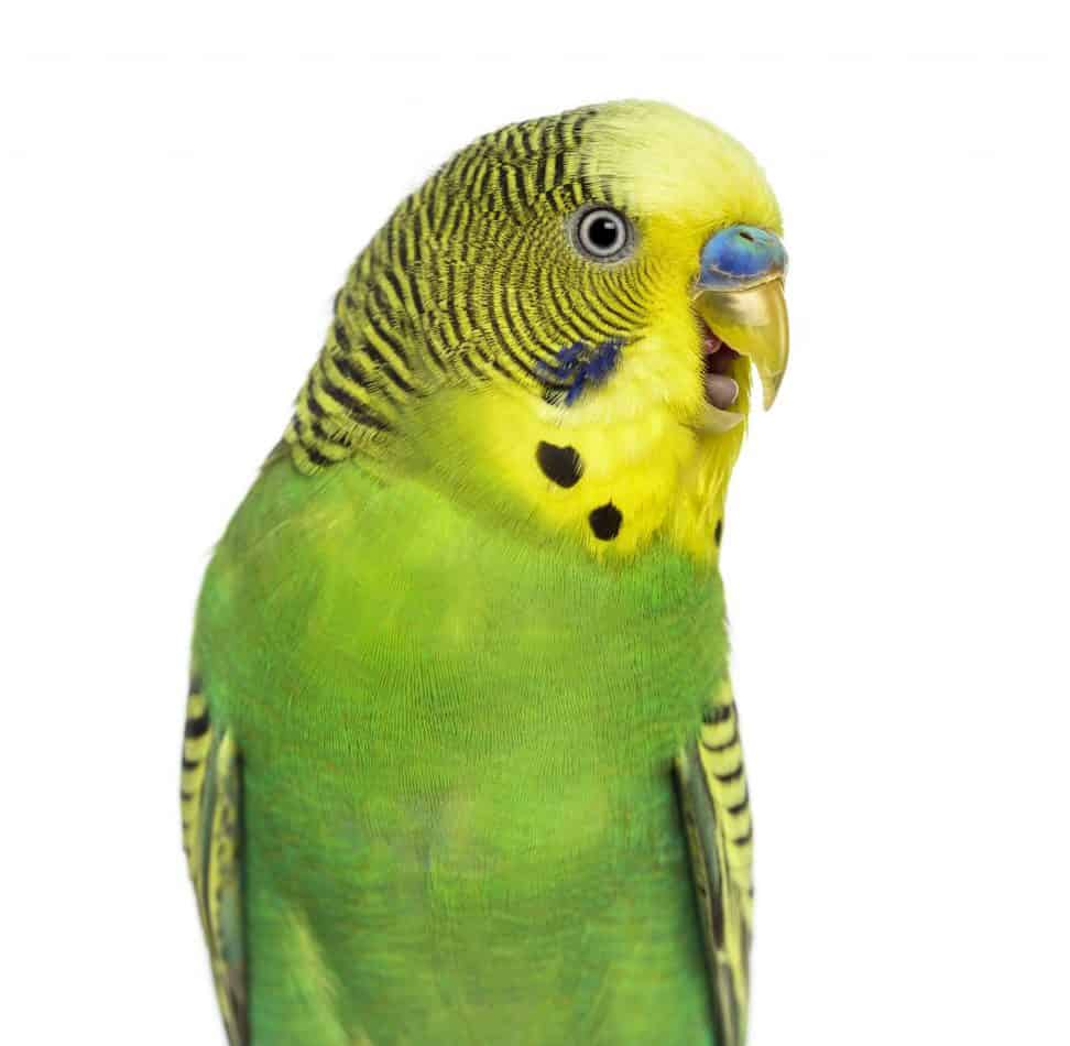 Parakeet Behavior Guide: How to Know What They are