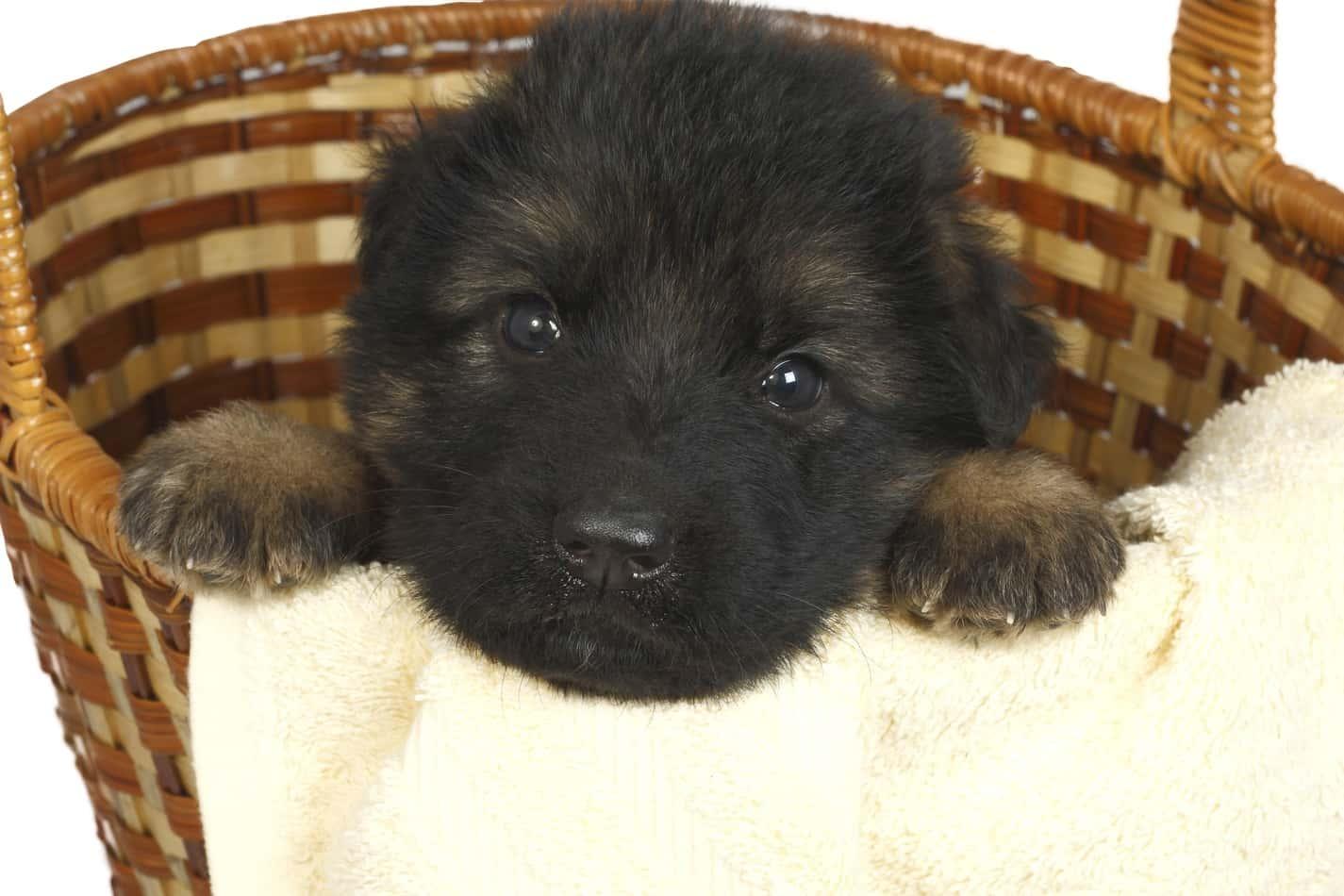 How Long Do German Shepherds Reproduce Embora Pets