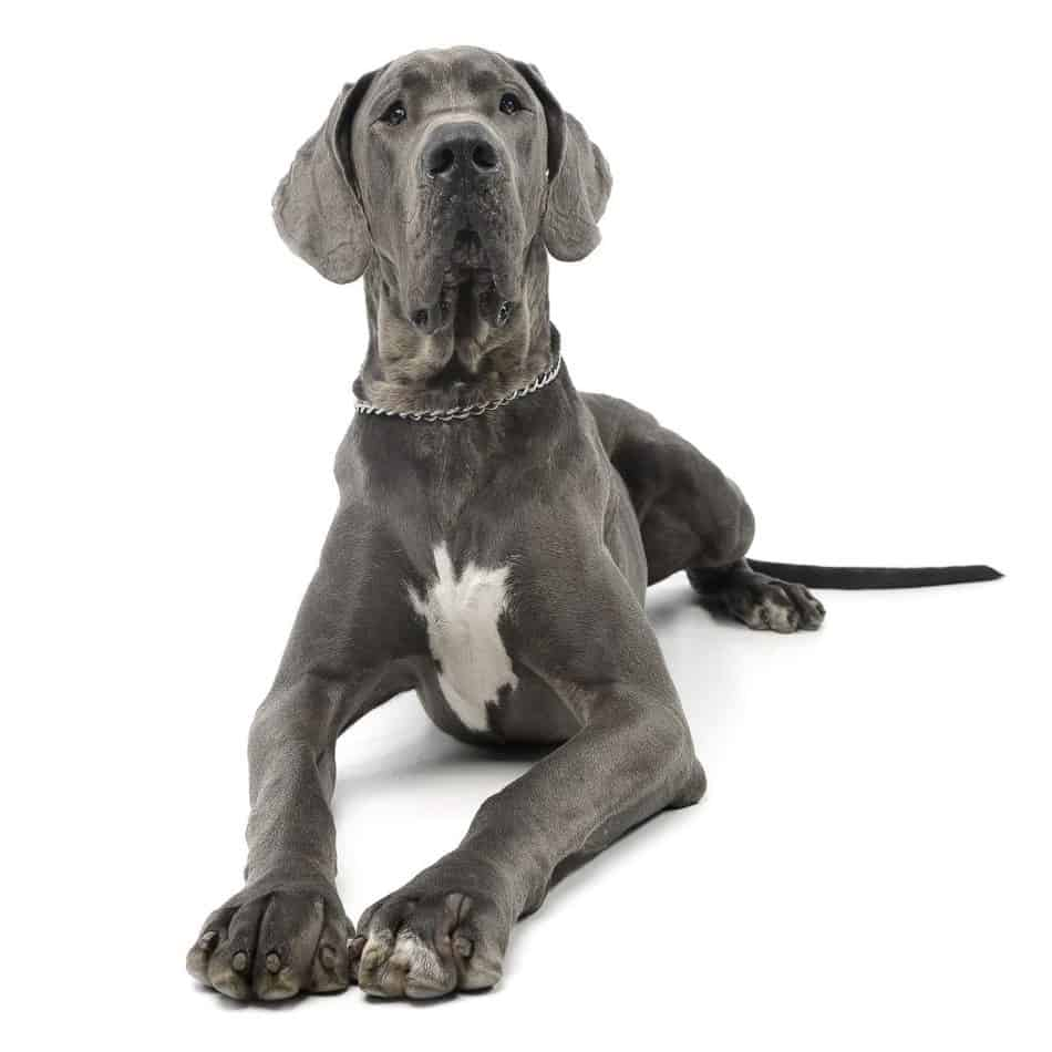 Great Danes as Pets: Cost, Life Expectancy, and Temperament