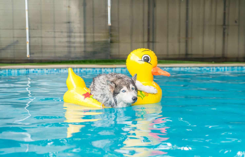 Can Huskies Swim?