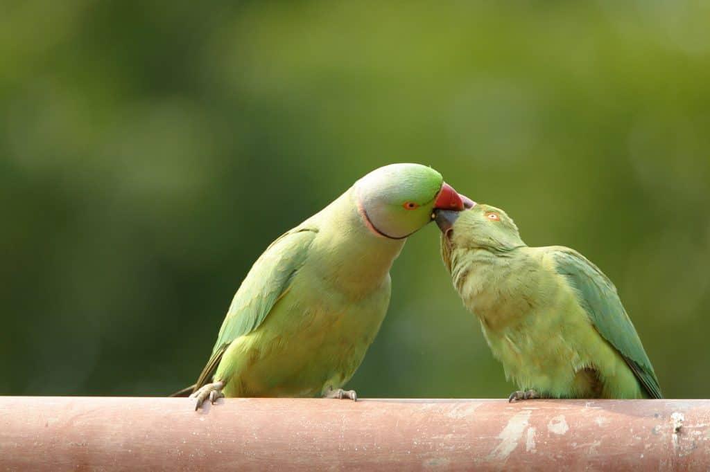 How to Sex Parakeets – Embora Pets