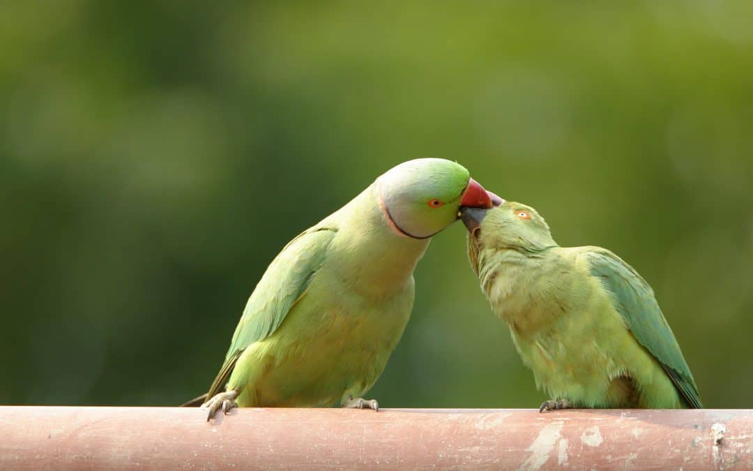 How to Sex Parakeets