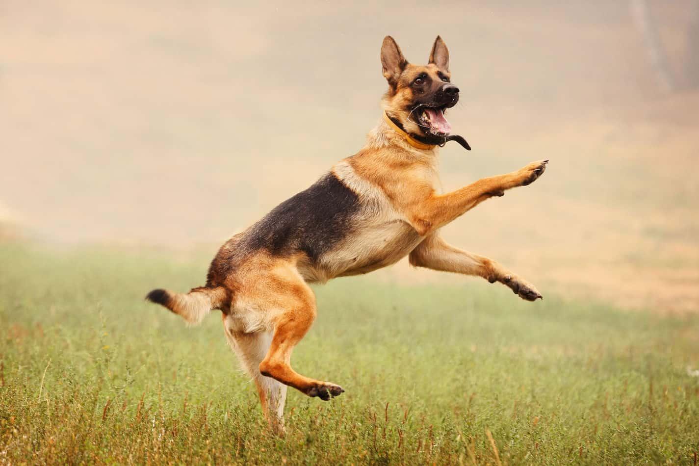 How High Can German Shepherds Jump?