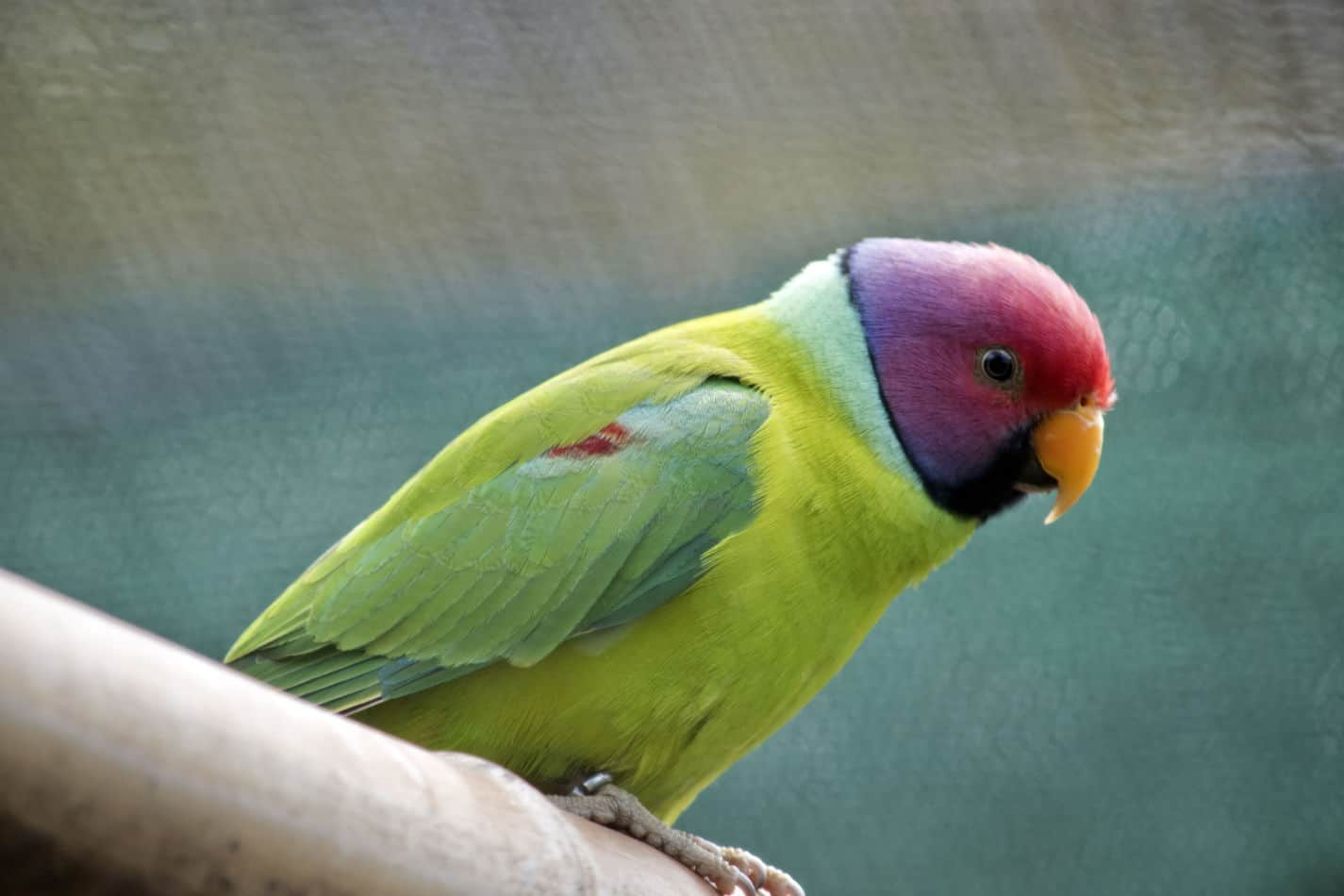 Plumheaded Parakeets: Pictures, Where to buy, and Temperament info