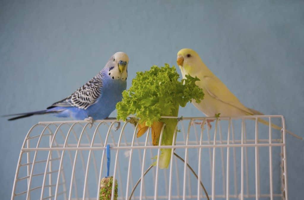Parakeet Mating Guide: How it Works, Gestation Period, and More!