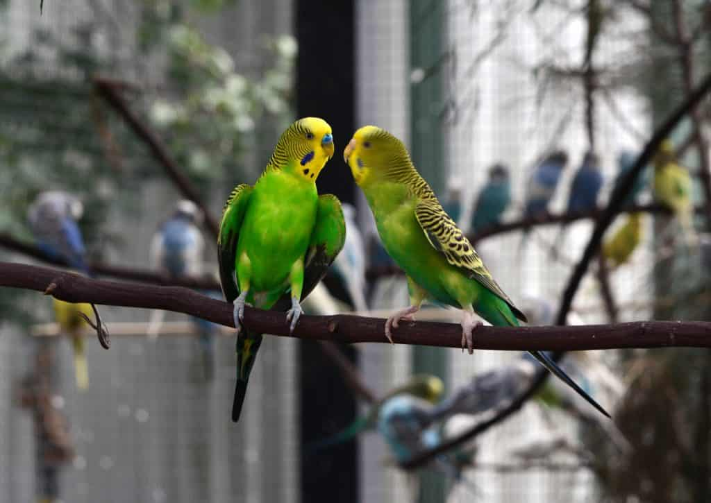 Parakeet Behavior Guide: How to Know What They are Expressing