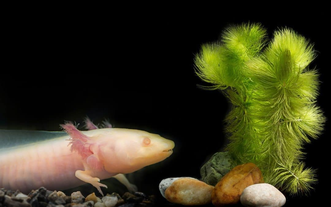 GFP Axolotl: A Beginner's Guide with Pics, Cost to Buy, and Care Info