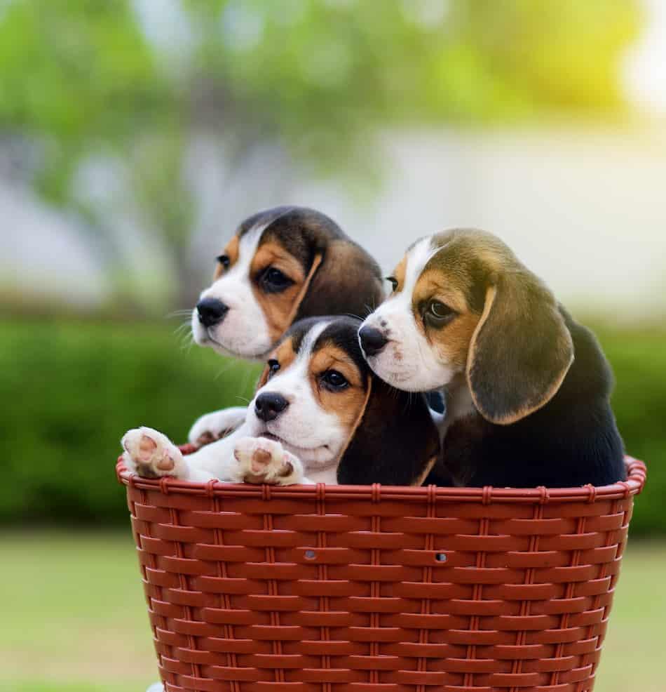 How Long do Beagles Reproduce?