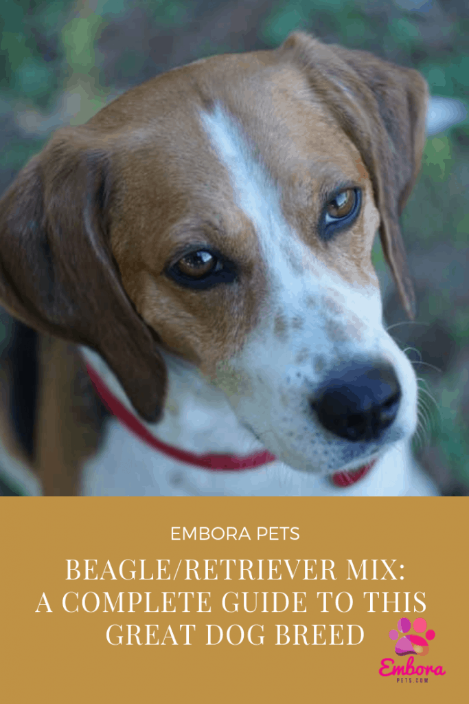 Beagle Retriever Mix A Complete Guide To This Great Dog Breed Embora Pets
