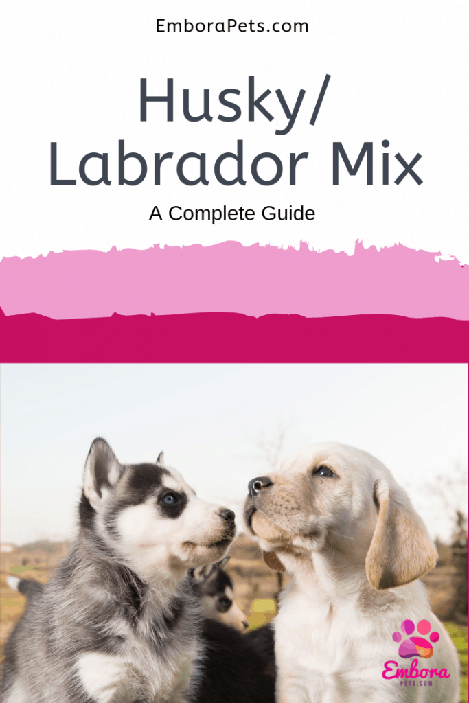 Husky/Labrador Mixes: A Complete Guide With Pictures