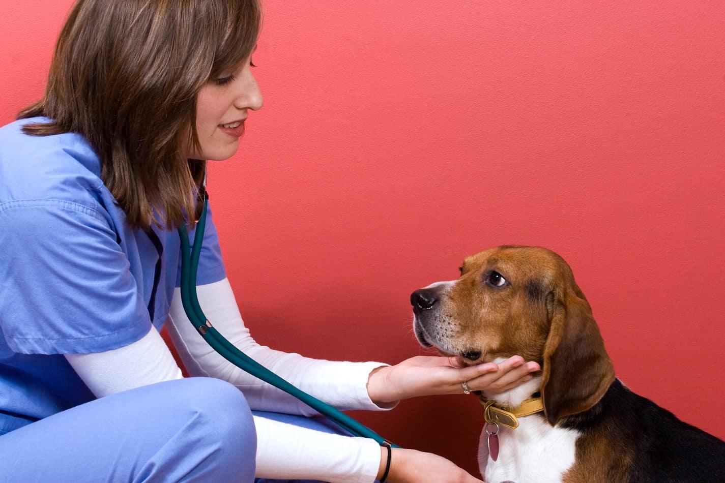 Best Age to Neuter a Beagle