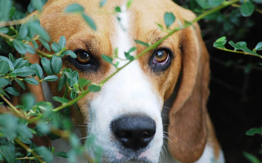 How to Find a Beagle to Buy