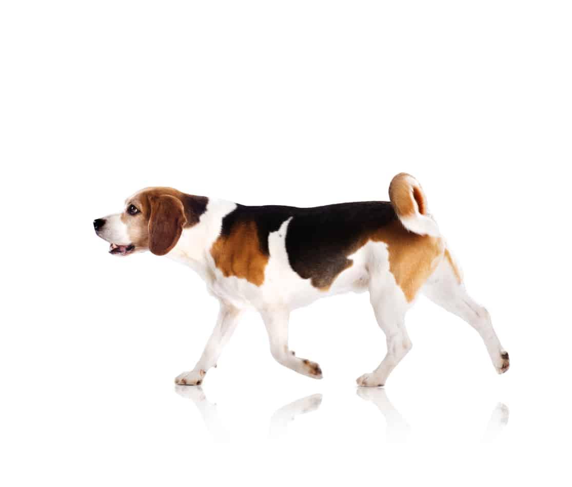 How Big do Beagles Get?  (Plus Size Info for Beagle Mixes)