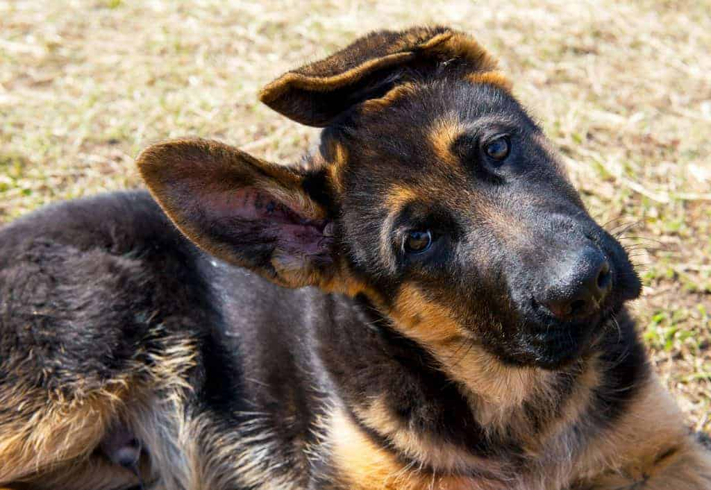 Average Cost of Buying a German Shepherd (With 21 Examples)