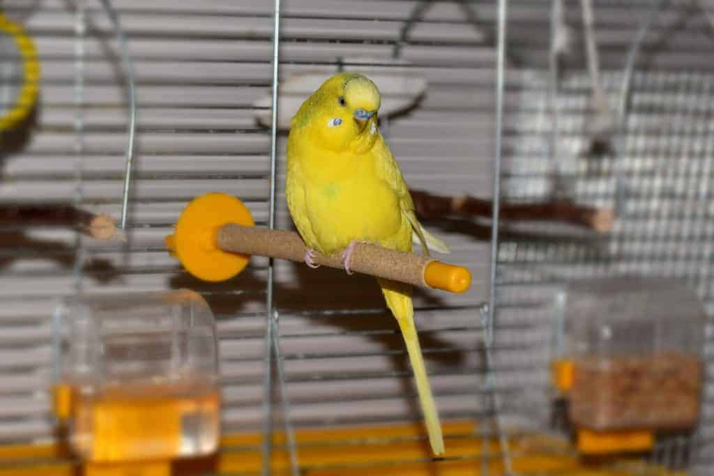 How to Care for Parakeets: A Complete Guide With All You Need to Know