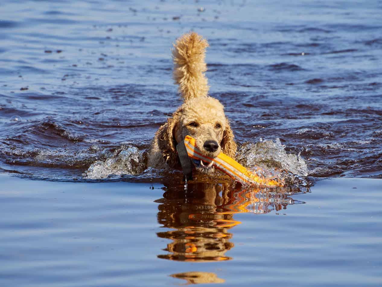Can Poodles Swim?
