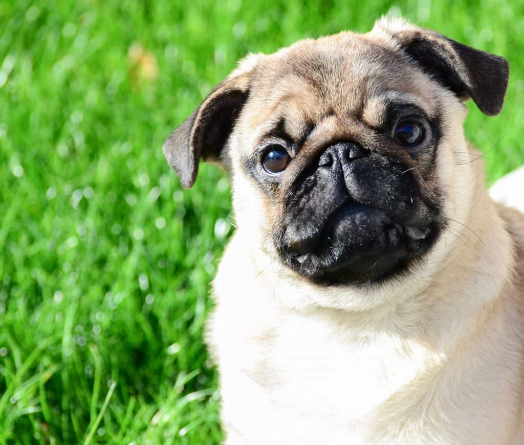 Are Pugs Easy To Train Embora Pets
