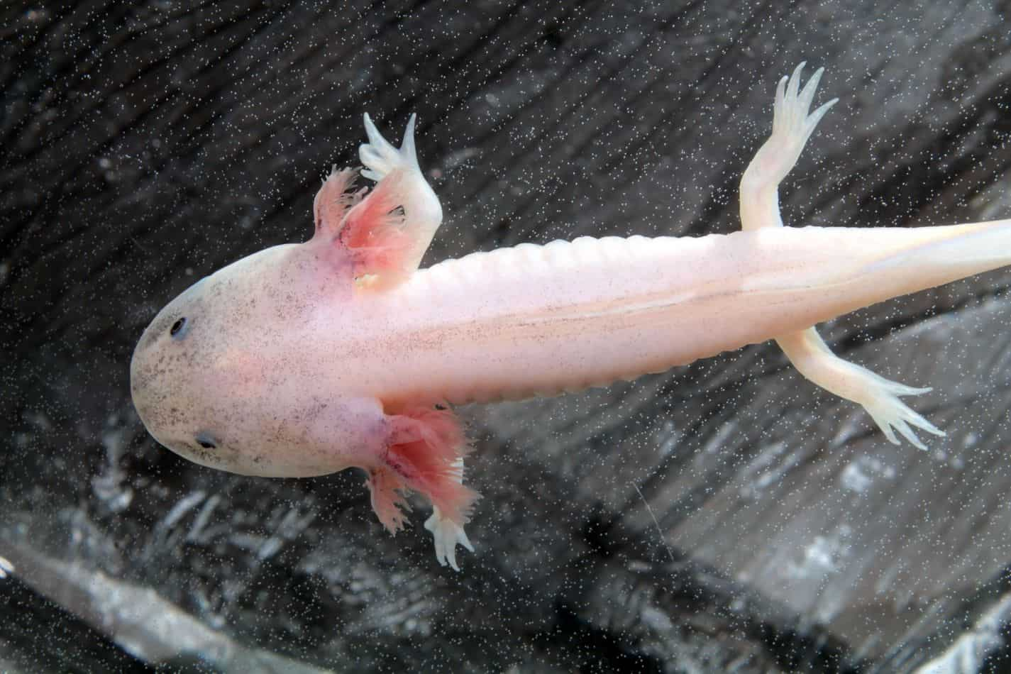 Axolotls as Pets: Cost to Get One, Ease of Care, and Limb Regrowth