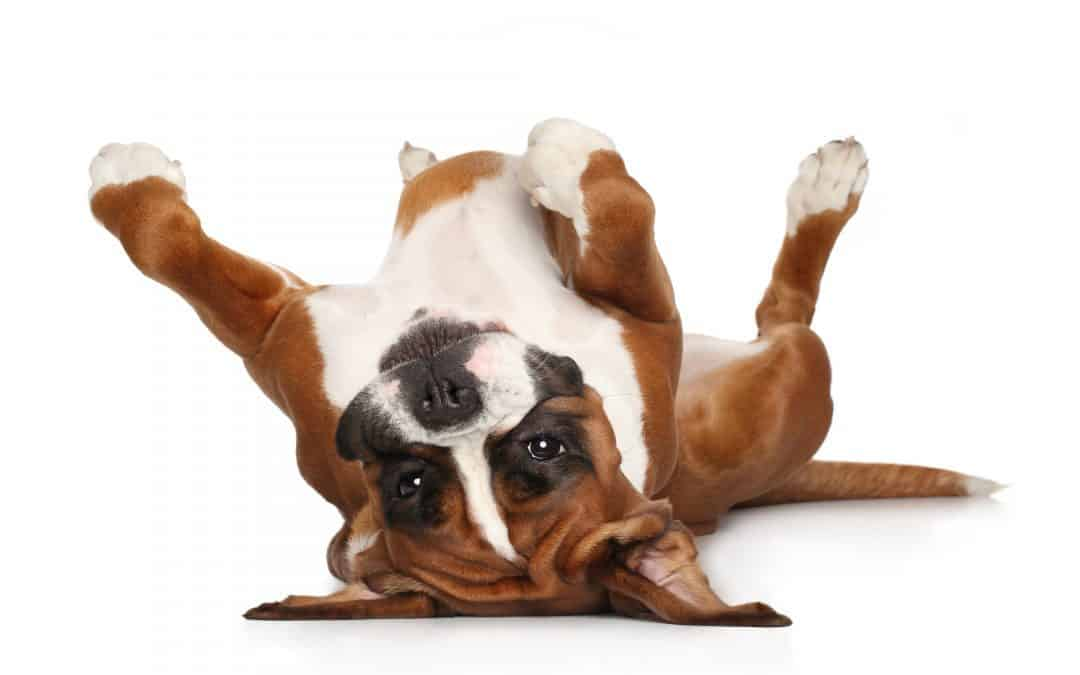 Boxer Temperament: What's it like owning one? – Embora Pets